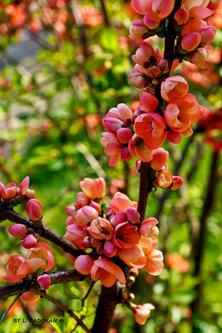 Ljiljana rascvjetana grana