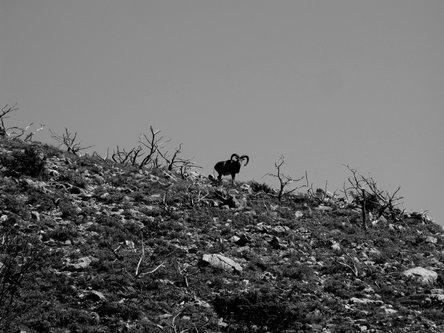 Marisimo Radoznali muflon