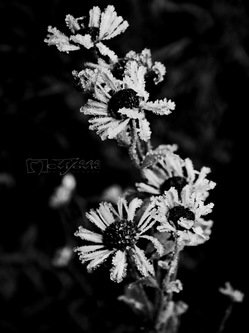 Maverick Black n' white flowers