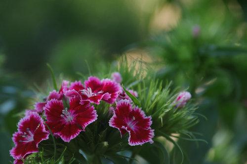 Merina Cvijet