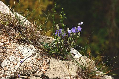 Merina Cvijet iz kamena