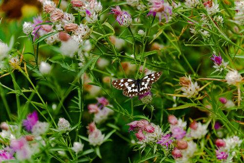 Merina Leptir i njegovo cvijetno carstvo