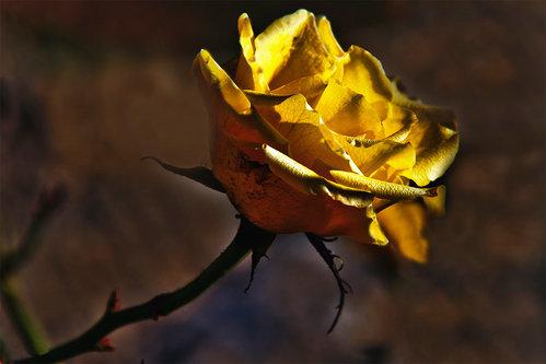 Merina Moja si ruža
