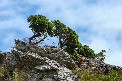 Merina Velebitski bonsai