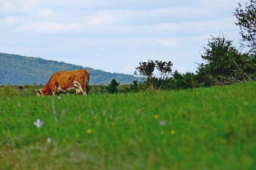 Merina Velebitski pašnjaci