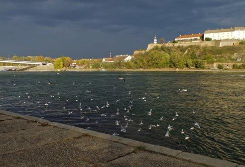 Mihael The Danube seagulls