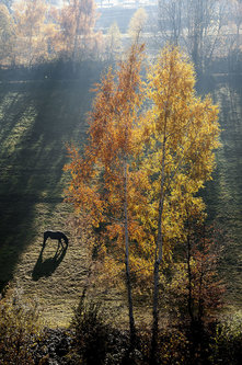 Mirsad Konj i breza