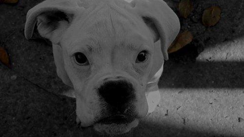 Nata3005 Albino nemacki bokser
