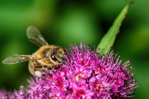 Nedomacki Fruškogorska pčela