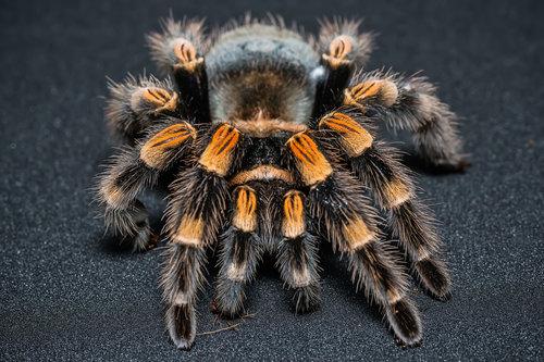Nedomacki Tarantula koja pozira