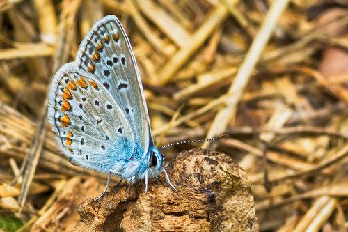 Nedomacki leptir