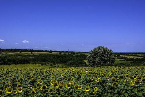 NenadBorojevicFoto Empire of the Sunflowers ( Carstvo Suncokreta )