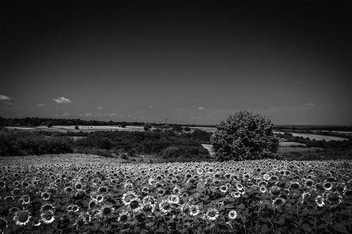 NenadBorojevicFoto Sunflowers ( Suncokreti )