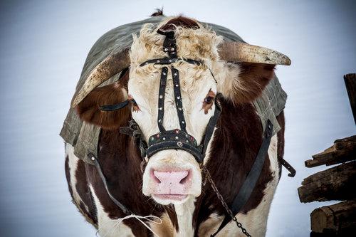 NenadBorojevicFoto Big Bull ( Veliki Bik )