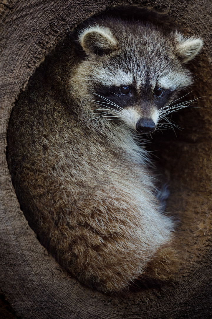 A sad raccoon...