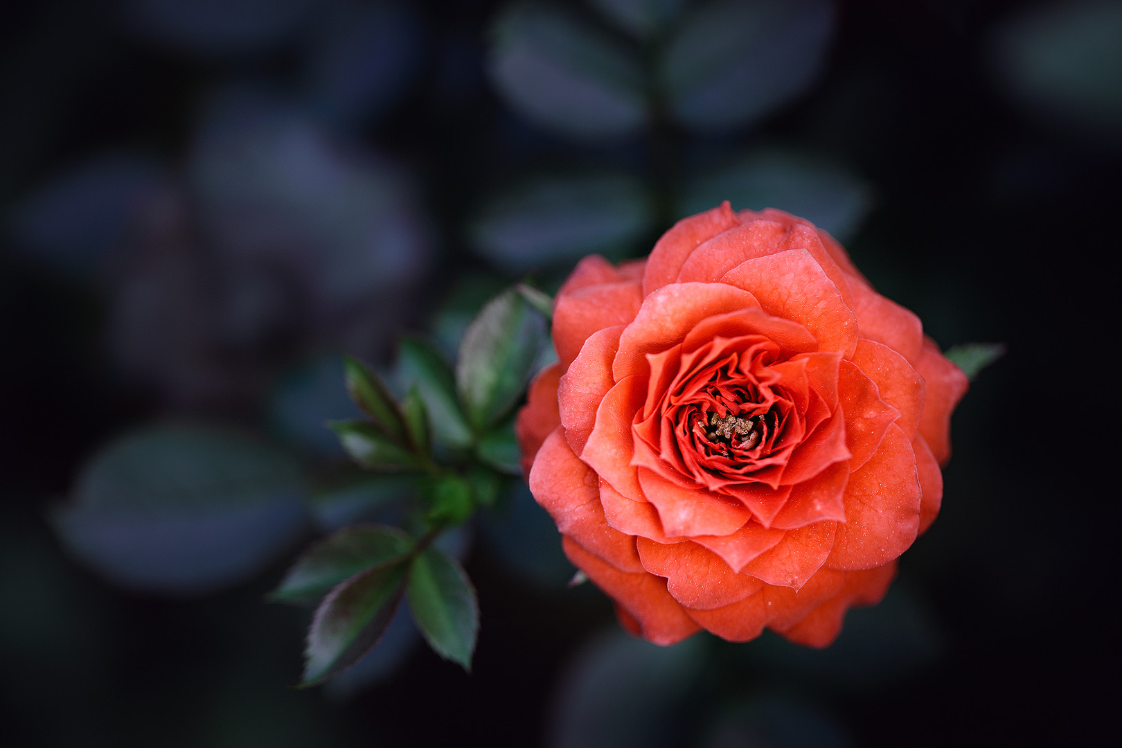 Red rose...