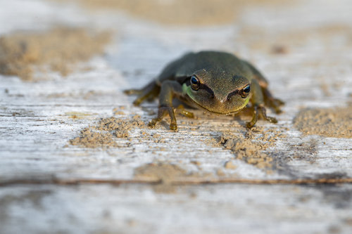Nenad_Ristic Little green frog...