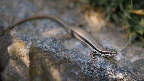 Nenad_Ristic Lizard...