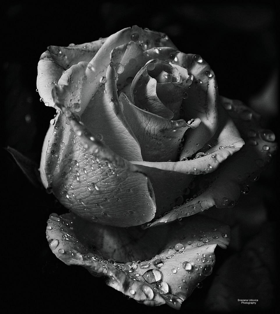 ...bw rose