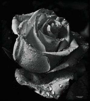 Nensi ...bw rose