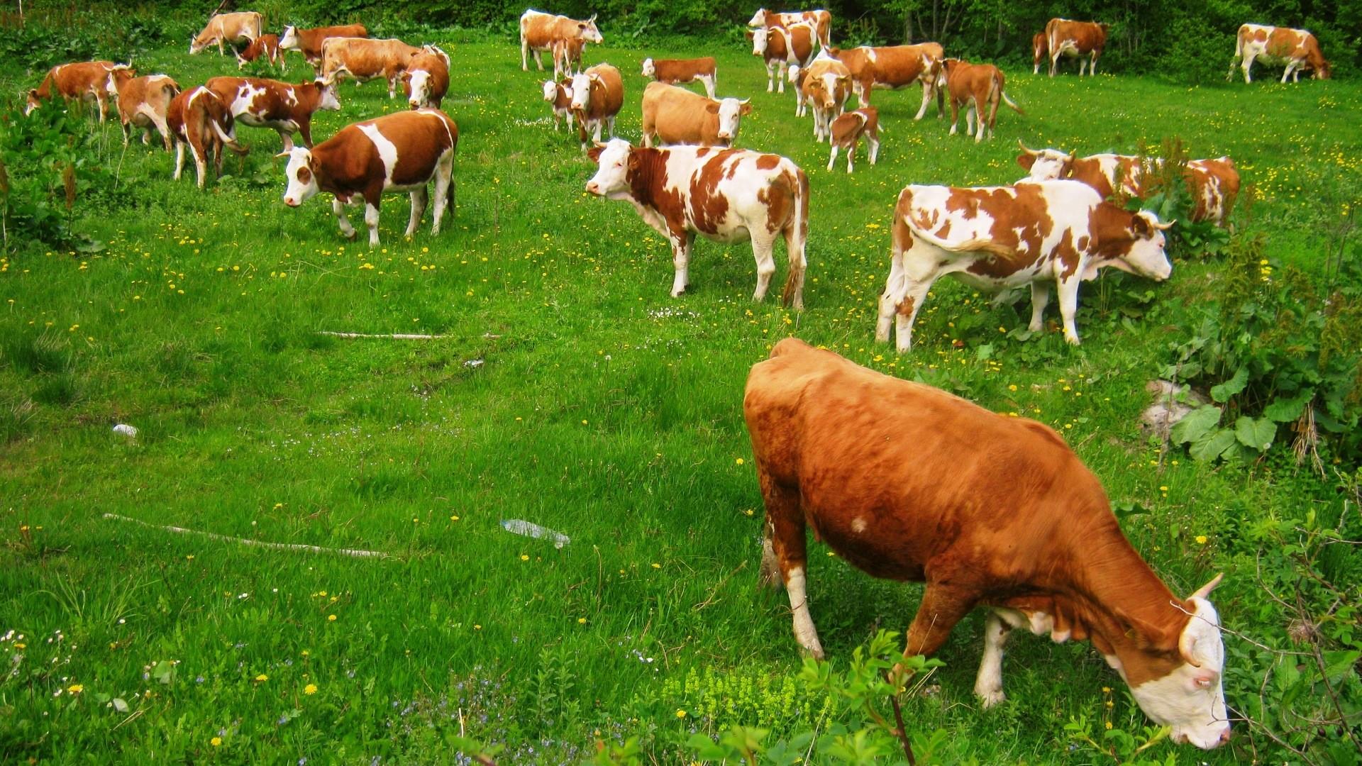 Krave na ispaši