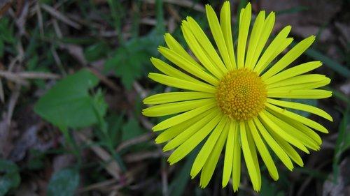 NikolaRadojicic Žuti cvet