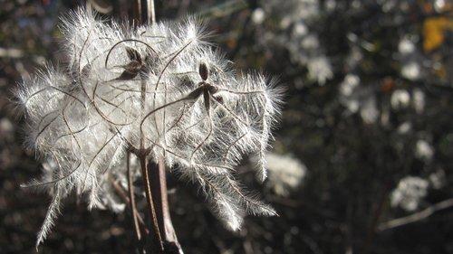 NikolaRadojicic Beli cvet