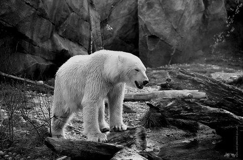 NikonD750 Beli medved