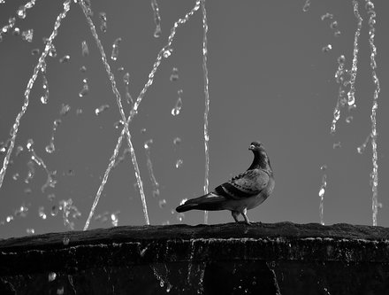 NikonD750 Malteski golub