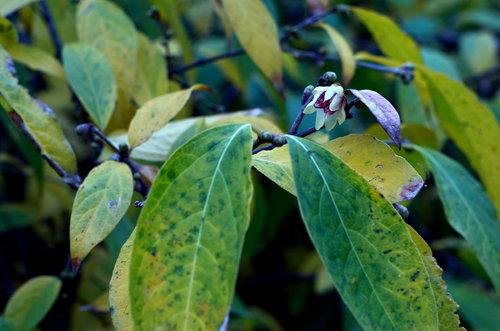 Ogimaster Mali cvijet