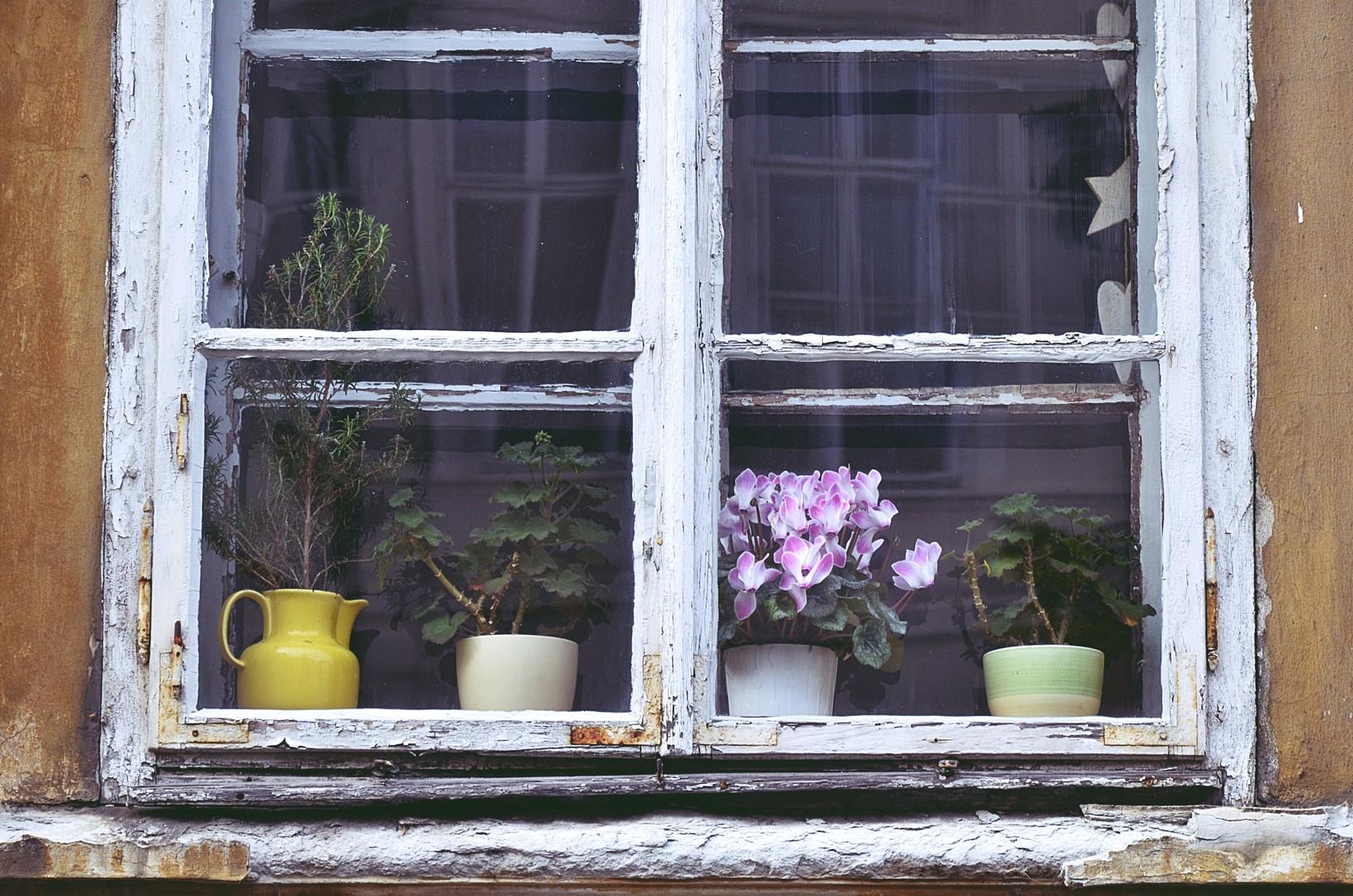 Ciklame u prozoru