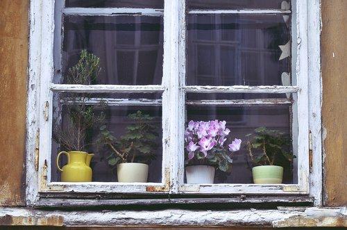 Ogimaster Ciklame u prozoru