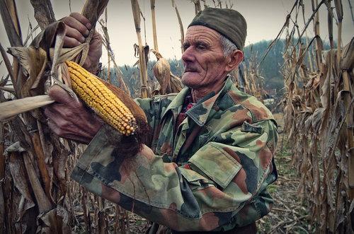 Pajo-foto Berac kukuruza