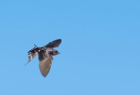 Pukylly Bird in flight
