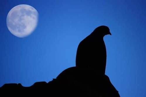 Severus Pigeon & Moon