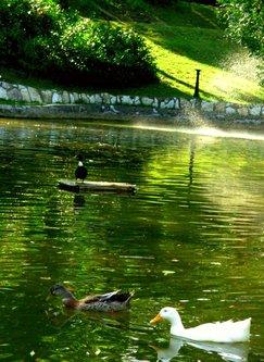 Sima33 Pliva patka preko Save