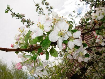 Sima33 Jabuka u cvatu