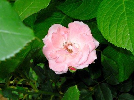 Sima33 Ruža