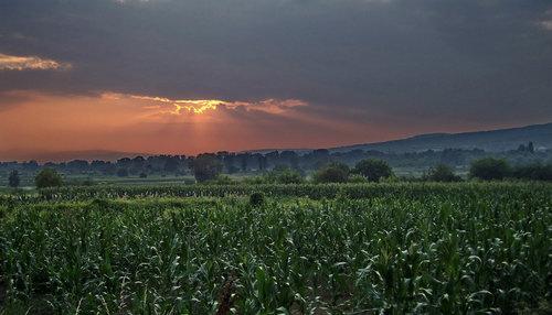 Steva U polju kukuruza