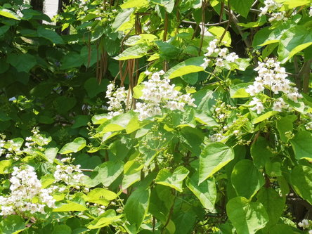 Taxan Cigaris u cvijetu