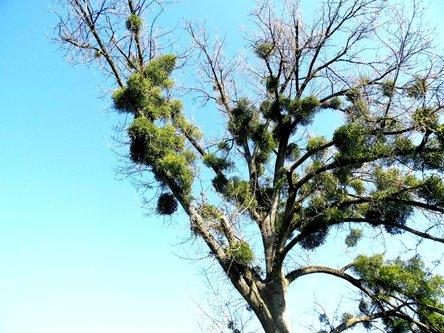 Taxan Drvo