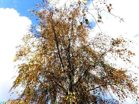Taxan Pod nebom breza