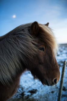 Thalabai Icelandic horse at night