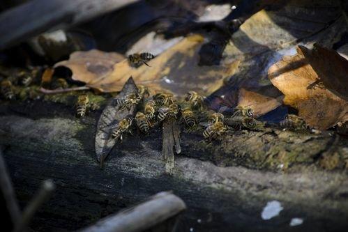 Thalabai THURSTY BEES