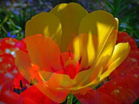 TheLadyD Čežnja jednog  tulipana