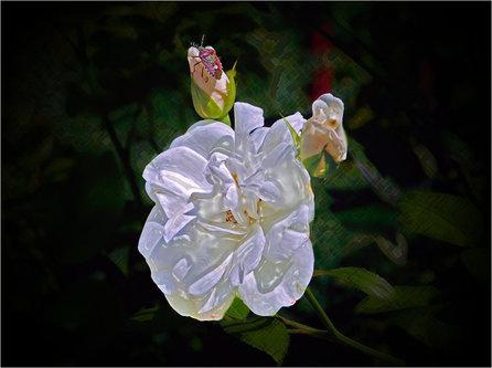 TheLadyD Bela ruža