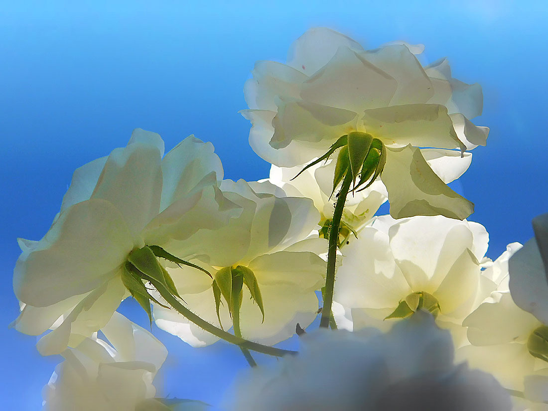 Sunce,vazduh i bele ruže :)