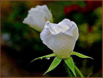 TheLadyD Bela ljubav u šarenoj bašti- na kiši! :)))