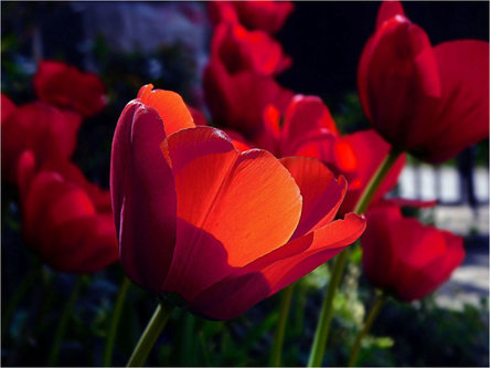 TheLadyD Red tulips