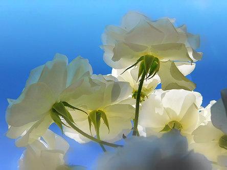 TheLadyD Sunce,vazduh i bele ruže :)